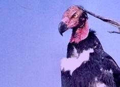 vautourroyal.jpg
